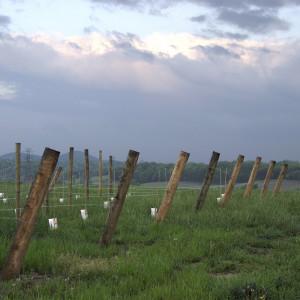 A Young Barren Ridge Vineyards